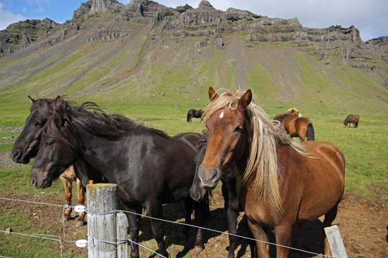 Iceland-horses1-websize