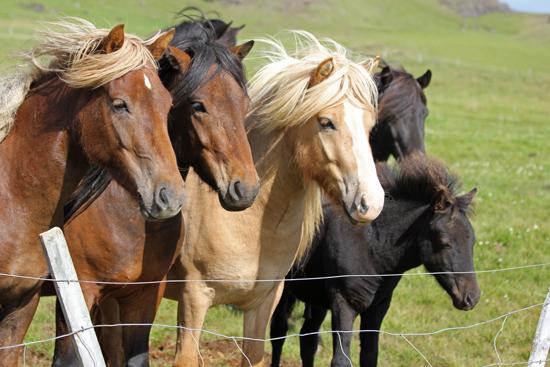 Iceland-horses2-websize